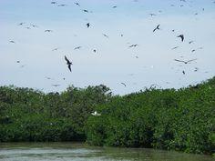 Mangroves, Tumbes, Peru