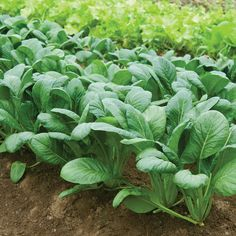 Komatsuna, japanese mustard spinach. The flavor grows stronger and hotter the longer the leaves mature.