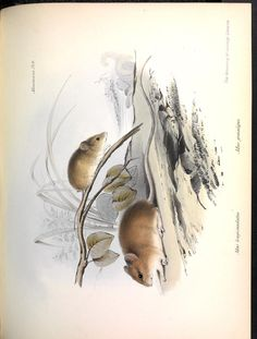Mice, The zoology of the voyage of H.M.S. Beagle, during the years 1832-1836, pts. 1-2 (Fossil mammalia, Mammalia). Darwin, Bell, Gould, Gould, Owen, Waterhouse, published 1838.
