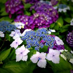 Ortensia nelle sfumature del viola, azzurro e lilla