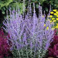 Photo of Russian Sage (Perovskia 'Little Spire'). Caption: Photo courtesy of Longfield Gardens. House Plants For Sale, Plants For Sale Online, Water Wise Landscaping, House Plant Delivery, Sage Plant, Russian Sage, Stipa, Short Plants, Vegetable Gardening