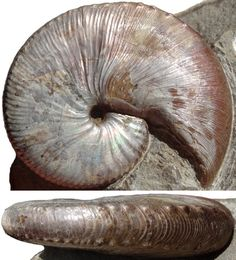 Chinese Astrology, Ammonite, Totems, Macro Photography, Shells, Ocean, Passion, Game, Caves