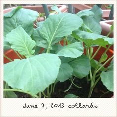 Collards trying to get bigger. Noticed a few new leaves coming in today