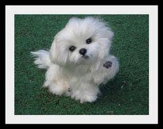 NEEDLE FELTED  DOG~ CUSTOM PET PORTRAIT~MALTESE~by Gourmet Felted~BAILEY by Gourmet Felted, via Flickr