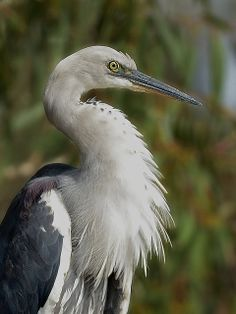 White-necked Heron (Ardea pacifica) found in New Guinea and Australia
