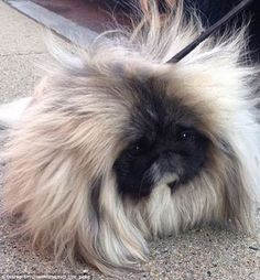 Wonton Soup the Pekingese dog is taking the Internet by storm for his furry coat | Daily Mail Online