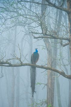 Peacock in the fog