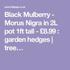 Black Mulberry - Morus Nigra in 2L pot 1ft tall - £8.99 : garden hedges | tree…