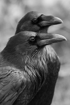 #animals #birds #ravens