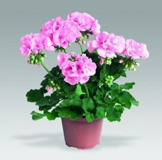 Flower Gardening Geraniums - Size: Small,Medium Climate: Temperate Style: Perennial Full-bloom Period: Summer Use: Outdoor Plants Cultivating Difficulty Degree: Very Easy bag Flowers Nature, Colorful Flowers, Beautiful Flowers, Simple Wall Art, Diy Wall Art, Flowers Perennials, Planting Flowers, Flower Seeds, Flower Pots