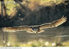 Eurasian Eagle-Owl (Bubo bubo) adult - the most beautiful owl! -flying low over water.