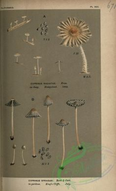 coprinus sparguei, coprinus radiatus - high resolution image from old book. Nature Collection, Beautiful Wall, Floral Fabric, Stuffed Mushrooms, Bloom, Hair Accessories, Clip Art, Victorian, Scrapbook
