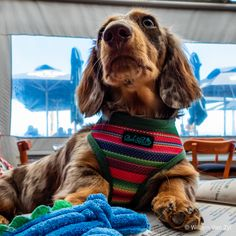 📸🐶 Out to lunch with Pepper Long Haired Dachshund, Out To Lunch, Dog Photos, Stuffed Peppers, Dogs, Animals, Animales, Animaux, Stuffed Pepper