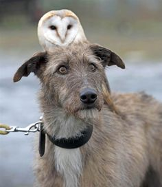 According to Rex Features, Willow and Merlin became fast friends three months ago when the owl's daily exercise was combined with the dog's walk. Now the unlikely pair are a familiar sight at the Pen y Bryn Falconry centre in North Wales.