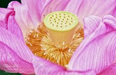 Lotus - This beautiful macro of a pink lotus was taken at Ueno Park in Tokyo. These few lotus flowers were the first of the season for Tokyo