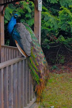 Peacock, Hatley Castle, Royal Roads Military College
