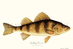 Yellow Perch fish print illustration by Artist Brenda Guild Gillespie, $19.95.