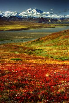 The colors of tundra turned bright red with the arrival of Fall. The mighty Denali (Mt.Mckinley) Mountain is on the background.