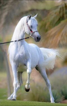 I love white horses Most Beautiful Horses, All The Pretty Horses, Beautiful Arabian Horses, Beautiful Things, Horse Photos, Horse Pictures, Beautiful Creatures, Animals Beautiful, Animals And Pets