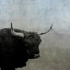 Rustic Steer  Nature Photography  Rustic Shabby by DreamyPhoto, $25.00