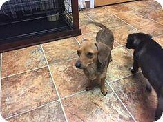 Tacoma, WA - Dachshund Mix. Meet SUGAR, a dog for adoption. http://www.adoptapet.com/pet/17101516-tacoma-washington-dachshund-mix