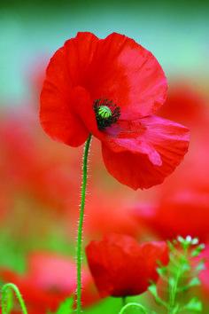 A beautiful poppy standing proud on Winnall Moors.