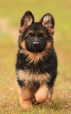 German shepherd puppy. So cute!