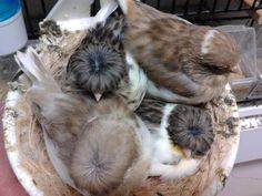 Beautiful Show Quality Canary Glosters in Detroit, Michigan - Hoobly Classifieds Canary Birds, Wicker Furniture, Guinea Pigs, Detroit Michigan, Beautiful, Birds, Animales, Pets, Colors