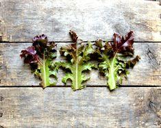 Organic Seeds, Heirloom Seeds, Red Salad Bowl Lettuce Seeds, from our farm, gardener gift, eco friendly, vegetable gardening, organic garden...