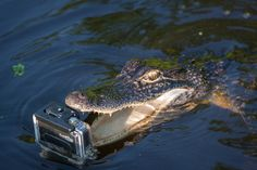 alligator about to chomp down on a camera - on Lake Maurepas in Louisiana - photo by Mark Bienvenu