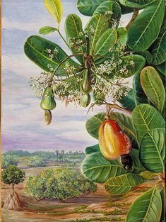 Cashew tree painting by Marianne North Tanjore, India. Kew Gardens, Botanical Art, Botanical Illustration, Landscape Paintings, Watercolor Paintings, Tree Paintings, Disney Diy, Marianne North, Fruit Painting