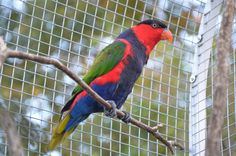 blue breasted lory, lorius lory lory  photo from Iggino Van Bael