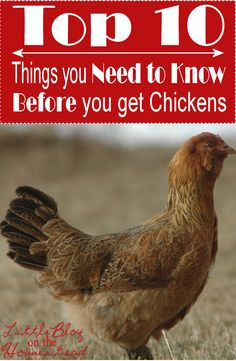 Happy New Year, Little Blog on the Homestead Readers! If one of your goals for 2015 is to get some backyard chickens, you're in luck. Today I'm sharing my Top 10 things you need to know BEFORE...