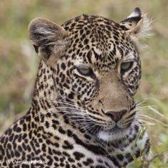 Who's a pretty boy ...   Reade more by www.serengeti-wildlife.com  #serengetidiary #africanamazing #MasaiMara #tembeakenya #safari #wildlife #wildlife_aroundworld #africanamazing #canon #travelphotography #animals #africa #animals