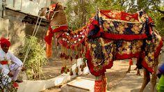 Ornately decorated camel
