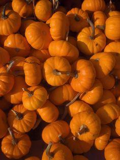 howden biggie pumpkins the ojays and 2 - Growing Halloween Pumpkins