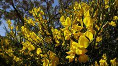 15 great spartium junceum l images spanish broom broom rh pinterest com