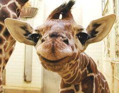 Baby Giraffe! Omg I want one!