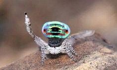 Il ballo del ragno pavone