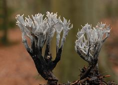 XYLARIA HYPOXYLON (not because it's delicious, but because it's gorgeous!)