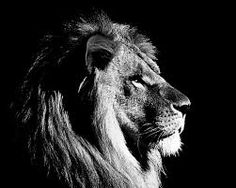Using all black and white charcoal on a midtone grey rives BFK paper, I created the rendering of a lion. White Charcoal, Black And White, Lion Illustration, Big Cats, Animals Beautiful, Lion Sculpture, Anime, Statue, Wallpaper