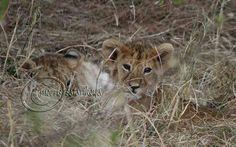 The  fantastic #lion cubs