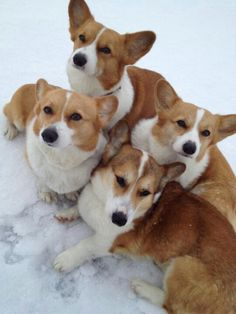 Welsh Corgies...I'm going to get me one of these someday!