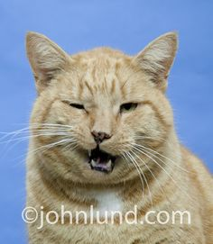 A funny, angry and pissed-off looking tough guy orange tabby cat wearing a sneer as he talks trash.