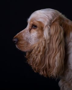 Lola - Orange Roan Cocker Spaniel