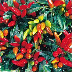 """Candlelight pepper. (Capsicum annuum) Ornamental bushy plants measure less than 16"""" tall. Profusion of tapered 1"""" peppers borne in clusters of 4-6. Fruits ripen from green to yellow to orange to brilliant red. Perfect for containers. 80 days from transplant. MEDIUM.    http://www.seedsavers.org/Details.aspx?itemNo=648"""