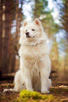 My future Samoyed.  Portrait of a Dog by Vladimir Zotov