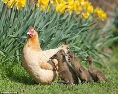 Hilda the hen hatches a clutch of ducklings after sitting on the wrong nest