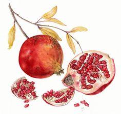 http://www.soc-botanical-artists.org/wp-content/uploads/Fitzpatrick-Margaret-Pomegranate1.jpg
