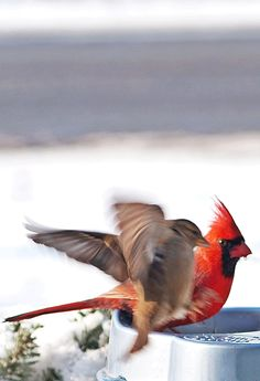 Cardinal with Sparrow Coming in for a Landing~cl